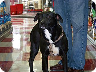 Labrador Retriever/American Pit Bull Terrier Mix Dog for adoption in Wappingers, New York - Gypsie $200