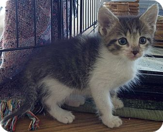 Maine Coon Kitten for adoption in Dallas, Texas - Brother and Sister pair