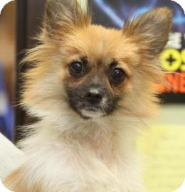 Pomeranian Mix Dog for adoption in Philadelphia, Pennsylvania - Patsy