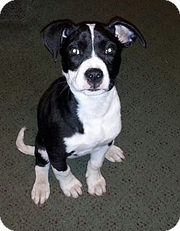 Terrier (Unknown Type, Medium) Mix Puppy for adoption in Blue Bell, Pennsylvania - Summer