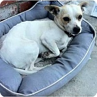 Adopt A Pet :: Milo - great with dogs! - Los Angeles, CA