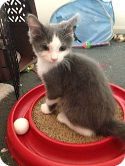 Domestic Mediumhair Cat for adoption in Sterling Hgts, Michigan - Peep