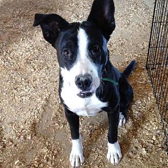 Bull Terrier/Border Collie Mix Dog for adoption in PLAINFIELD, Indiana - Georgia