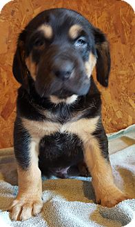 Bloodhound/Black and Tan Coonhound Mix Puppy for adoption in Trenton, New Jersey - Nelson