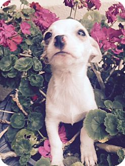 Chihuahua Mix Puppy for adoption in San Diego, California - Yogi