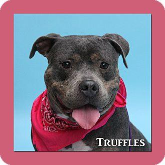American Pit Bull Terrier Mix Dog for adoption in Aiken, South Carolina - Truffles