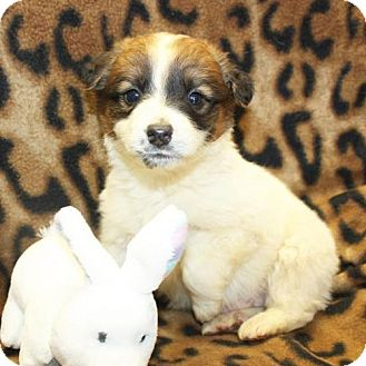 Shepherd (Unknown Type)/Border Collie Mix Puppy for adoption in Cottageville, West Virginia - Randall