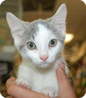 Domestic Shorthair Kitten for adoption in Brooklyn, New York - Clyde