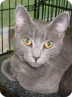 Russian Blue Cat for adoption in Hartford, Kentucky - Hugo