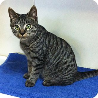 Domestic Shorthair Kitten for adoption in Battle Creek, Michigan - Spanky