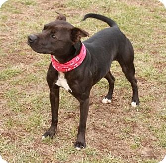 Pit Bull Terrier Mix Dog for adoption in Brattleboro, Vermont - Olive