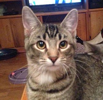 Domestic Shorthair Cat for adoption in Westlake Village, California - Sarge