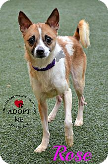 Jack Russell Terrier Mix Dog for adoption in Youngwood, Pennsylvania - Rose