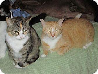 Domestic Shorthair Cat for adoption in San Antonio, Texas - Linus