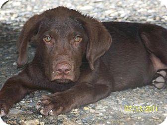 Labrador Retriever Mix Puppy for adoption in Waldron, Arkansas - Bailey Alexander