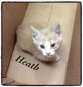 Domestic Shorthair Kitten for adoption in Dillon, South Carolina - Heath