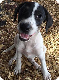 Shepherd (Unknown Type)/Hound (Unknown Type) Mix Puppy for adoption in PLAINFIELD, Indiana - Gladys