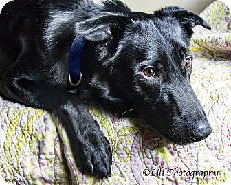 Shepherd (Unknown Type)/Labrador Retriever Mix Dog for adoption in Warner Robins, Georgia - Czar