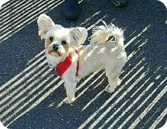 Maltese/Yorkie, Yorkshire Terrier Mix Dog for adoption in Freeport, New York - Mia