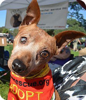 Miniature Pinscher Dog for adoption in Sacramento, California - Rusty
