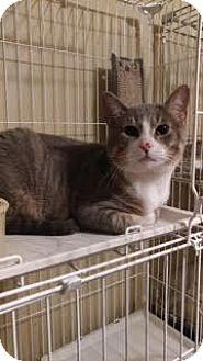 Domestic Shorthair Cat for adoption in Morris, Illinois - MAX
