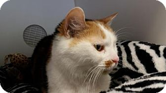 Domestic Shorthair Cat for adoption in Reisterstown, Maryland - Skylar