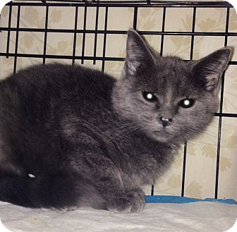 American Shorthair Kitten for adoption in Brooklyn, New York - Sapphire