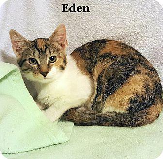 Calico Cat for adoption in Bentonville, Arkansas - Eden 2