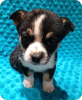 Chihuahua/Terrier (Unknown Type, Small) Mix Puppy for adoption in Williamsport, Maryland - Felicity (2 lb) Adorable