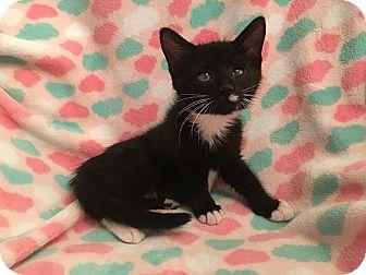 Domestic Shorthair Kitten for adoption in Tampa, Florida - Dakota