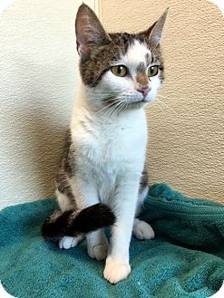 Domestic Shorthair Cat for adoption in Las Vegas, Nevada - Clairabelle