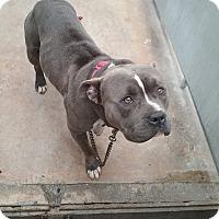Pit Bull Terrier Mix Dog for adoption in Elizabeth, New Jersey - Blue boy