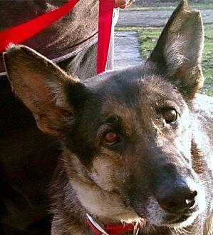 German Shepherd Dog Dog for adoption in Akron, Ohio - Sadie