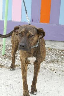 Catahoula Leopard Dog Mix Dog for adoption in Englewood, Florida - Maya