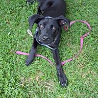 Boxer/Labrador Retriever Mix Puppy for adoption in Georgetown, Kentucky - Bobbie Sue