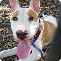 American Staffordshire Terrier Dog for adoption in Flint, Michigan - Mave