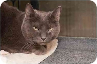 Domestic Shorthair Cat for adoption in Westbrook, Maine - Misty