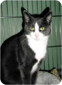 Domestic Shorthair Cat for adoption in Medway, Massachusetts - Carly
