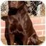 Photo 3 - Labrador Retriever Dog for adoption in El Segundo, California - Cocoa