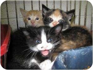 Domestic Shorthair Kitten for adoption in Henderson, North Carolina - Willie, Molly, & Tessy
