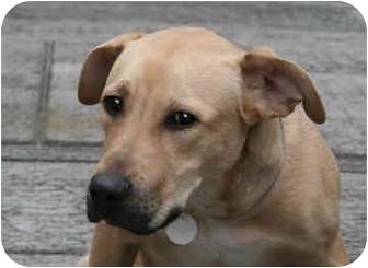 German Shepherd Dog Mix Puppy for adoption in New York, New York - Googie
