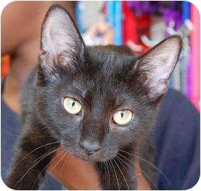 Domestic Shorthair Kitten for adoption in Brooklyn, New York - Paris