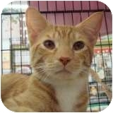 Domestic Shorthair Cat for adoption in Sacramento, California - Mario Speed Wagon