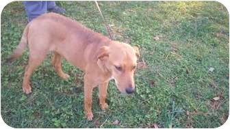 Labrador Retriever/Hound (Unknown Type) Mix Puppy for adoption in Fairfax, Virginia - Nemo-HHS Courtesy post