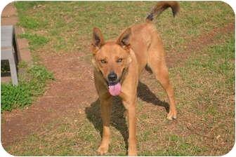 Basenji/German Shepherd Dog Mix Dog for adoption in Hamburg, Pennsylvania - Jamari