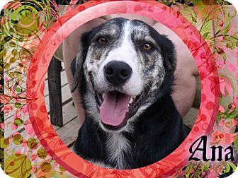 Australian Cattle Dog/Anatolian Shepherd Mix Dog for adoption in Hancock, Michigan - Ana