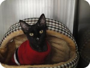Domestic Mediumhair Cat for adoption in Spruce Pine, North Carolina - Oneil