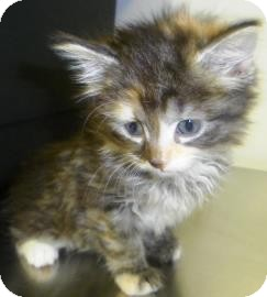 Maine Coon Kitten for adoption in Lincolnton, North Carolina - Natasha
