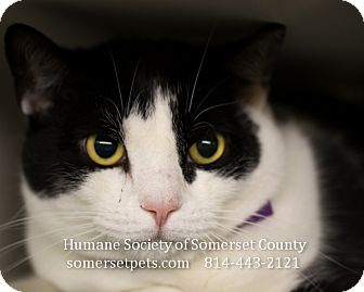 Domestic Shorthair Cat for adoption in Somerset, Pennsylvania - Emmanuel