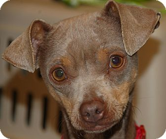 Chihuahua Mix Dog for adoption in Flower Mound, Texas - Talia